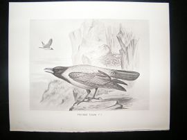 Bird Print: 1898 Hooded Crow, Frohawk